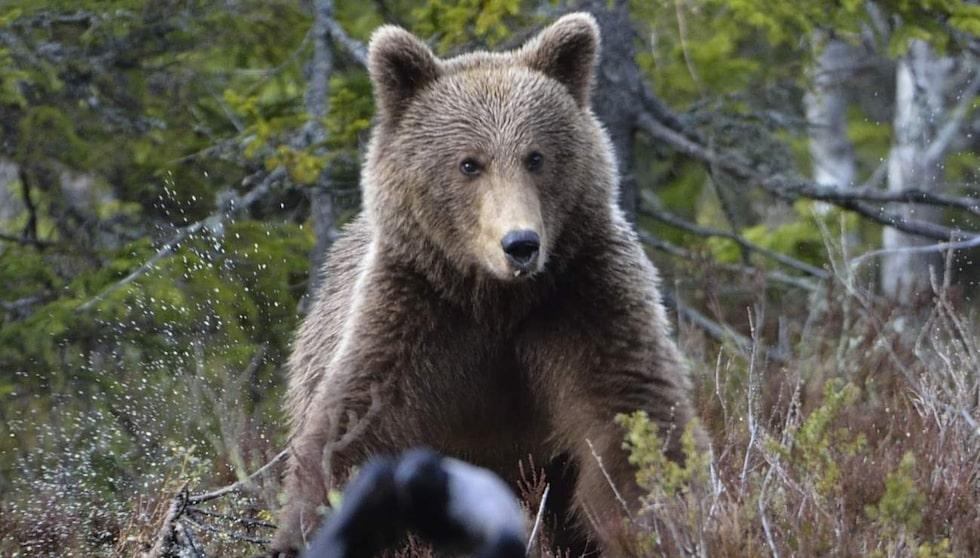 På myrarna finns även goda chanser att se brunbjörn.