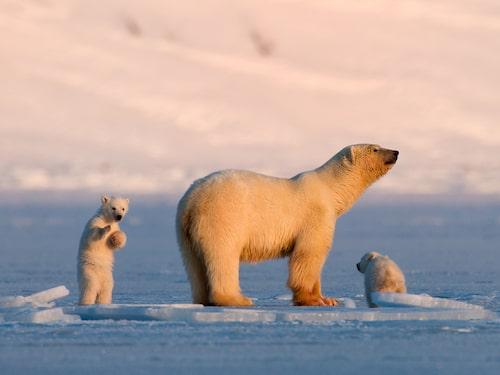 Svalbard har tre naturreservat, sex nationalparker, 15 fågelreservat och massor av isbjörnar.