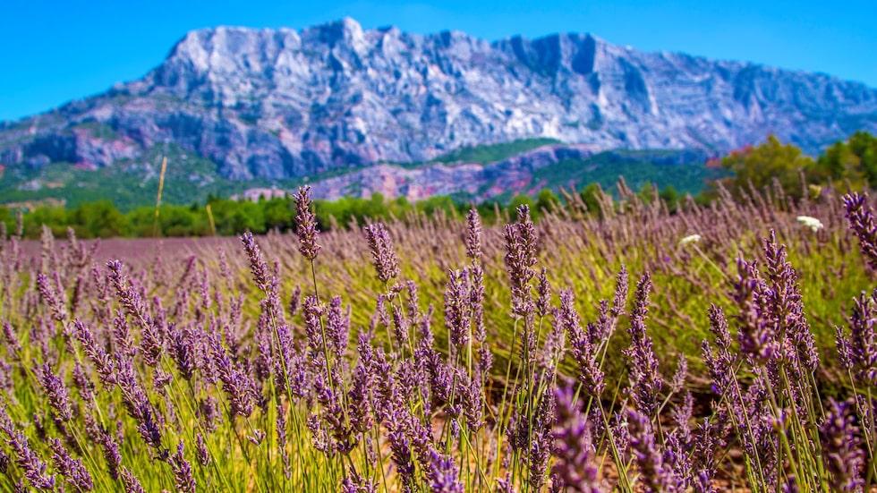 Böljande lavendelfält vid foten av berget Sainte-Victoire, som vakar över Aix-en-Provence.