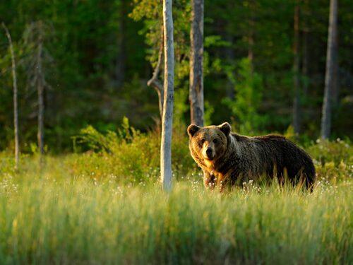 Spana efter djur som räv, järv, älg och björn.