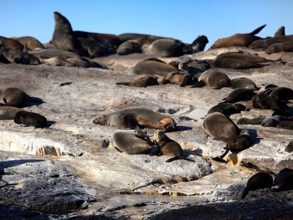 Seal Island – hem åt 50 000 sydafrikanska sälar.