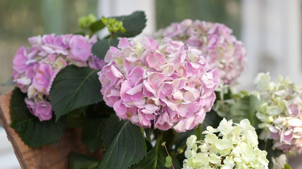 Hortensian har stora bollar av blommor – så vackert!
