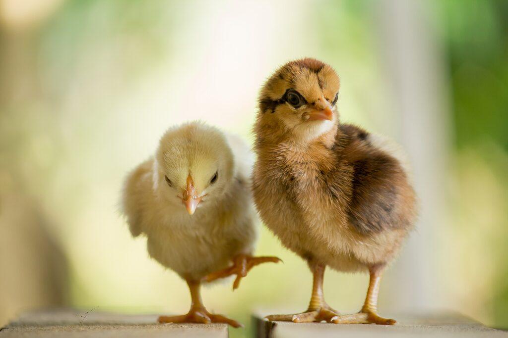 Köper du nykläckta kycklingar får du vänta fyra – sex månader innan de börjar lägga ägg.