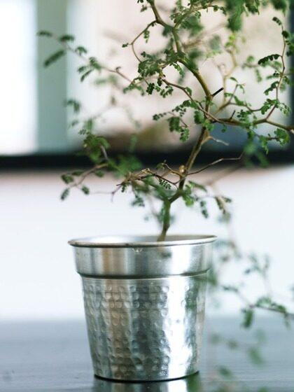 Litet träd. På sminkbordet i en silverkruka från khaki.se står en Sophora microphylla. – Den är speciell för mig eftersom vi har den som logotyp till vårt företag. Den är otroligt söt, säger Annica.
