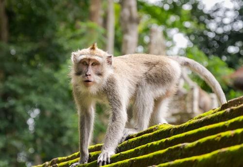 Att apor stjäl lösa saker från turister är inte ovanligt – men makakerna i templet Uluwatu på Bali går steget längre.