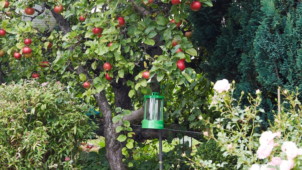 Äppelträden är Mias skötebarn. All frukt tas om hand och används till matlagning eller läggs in för vintern.
