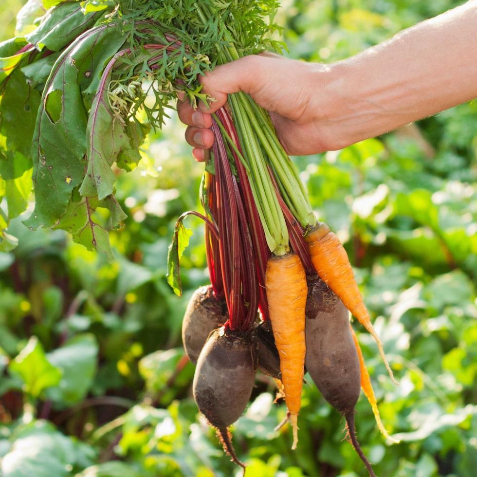 Skörda egna härliga grönsaker och rotfrukter!