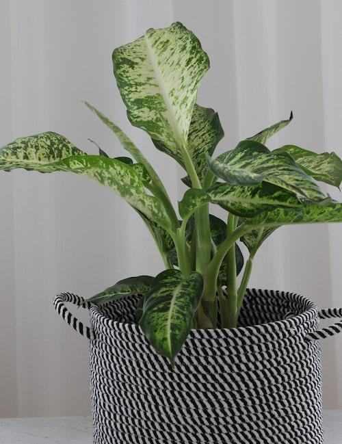 """""""Dienfbacchia seguine"""" är ett ljust prickblad. Den här typen av växt passar i exempelvis badrum som inte har något fönster."""