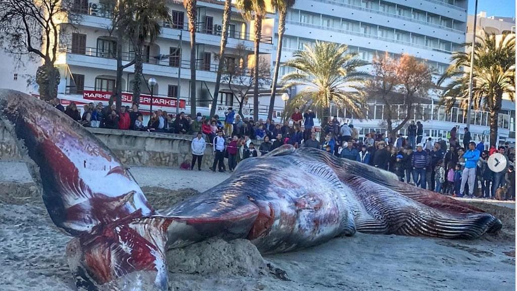 I helgen spreds bilder från Mallorca på en val som tros ha dött av den mänskliga nedskräpningen.