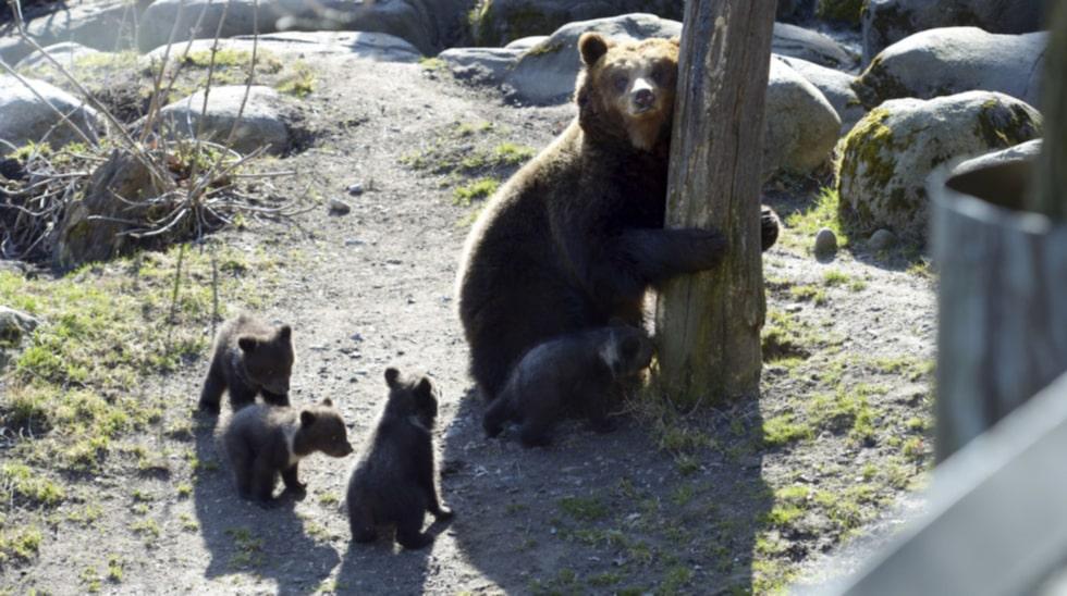 <p>Björnungarna är en av de största attraktionerna på Skansen varje år.</p>