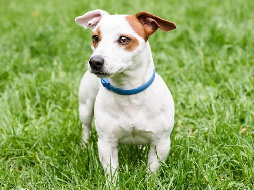 Fästinghalsband för hundar ska sitta på dygnet runt under hela fästingsäsongen eftersom det kontinuerligt utsöndrar den aktiva substansen som håller fästingarna borta.