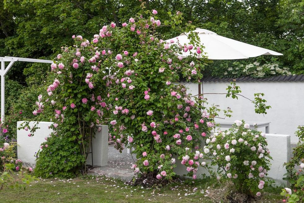 Trädgården är full av doftande rosor.