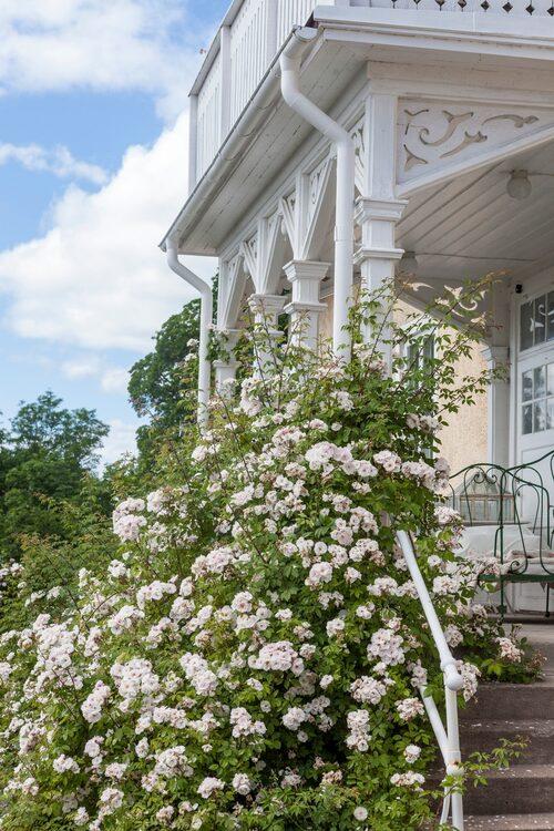 Klätterrosen Venusta pendula klättrar uppför verandan på framsidan av det gamla skolhuset.