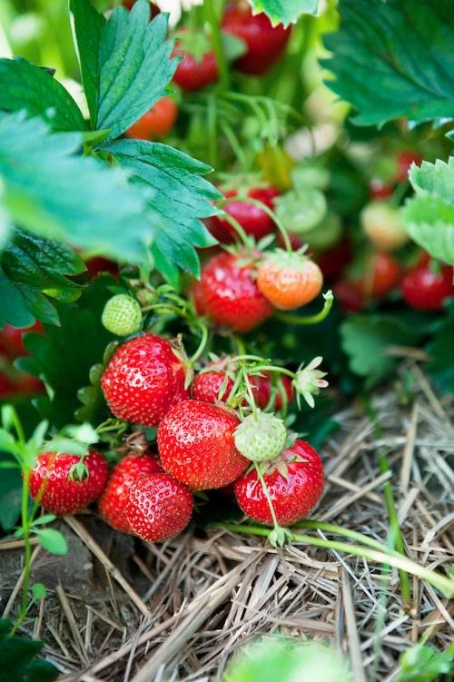 Under vintertid kan man med fördel lägga ut halm eller täckbark mellan jordgubbsraderna.