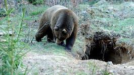 Jagade björn utför stup – misstänks för grovt jaktbrott