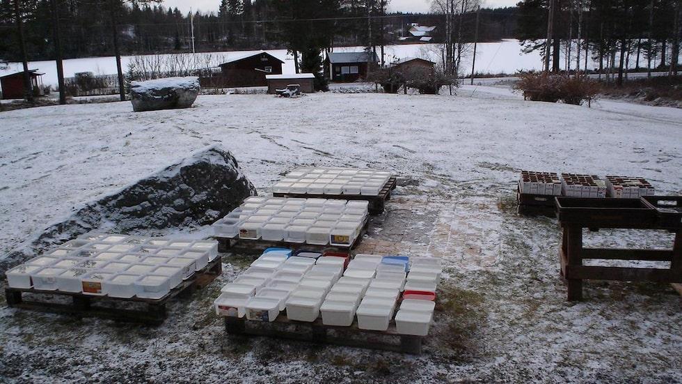 """""""Så här ser det ut på gården nu när vi börjat, ca 300 enheter som ska frysa om vädergudarna är på vår sida"""", säger Janne."""