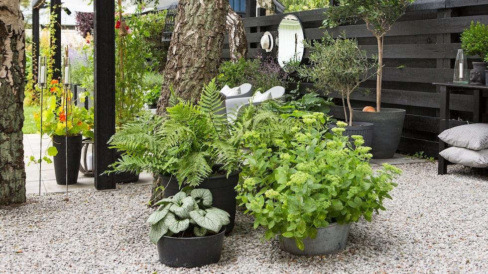Pergolans rum omfamnas av gröna växter i krukor, som funkior, ormbunkar, kärleksört, daggkåpa, olivträd, tobaksplantor och jätteverbena. Andra spännande inslag är björkarna vars stammar och kronor ger trädgårdsrummet karaktär.