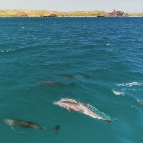 Lekfulla delfiner flockas gärna runt båten.