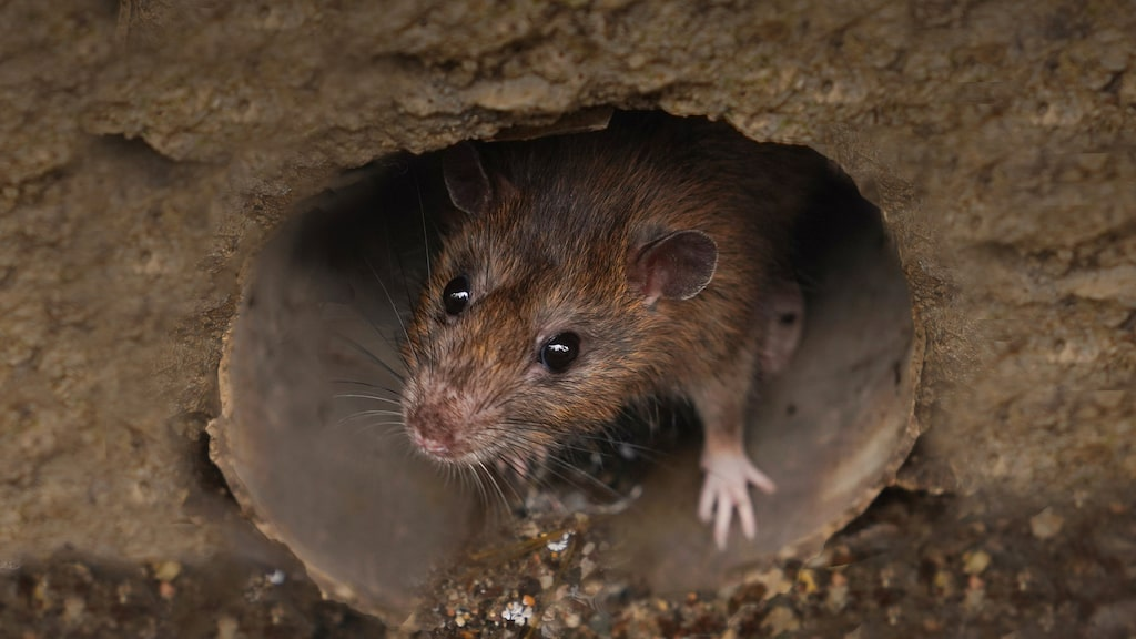 På hösten sker flest saneringar av råttor och de senaste åren har ökningen varit explosionsartad.