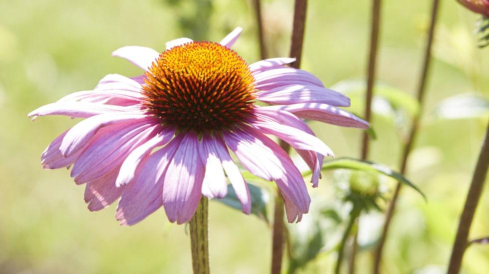 Sensommarens skönaste perenn är en röd solhatt. Den älskar värme och drar till sig både fjärilar och bin.