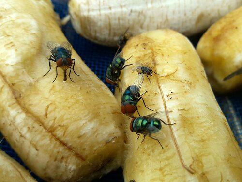 Bästa sättet att undvika bananflugor är att förvara frukt och grönsaker i kylskåpet.