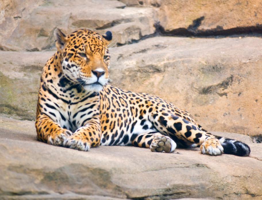 I Yala nationalpark kan man få syn på en sollapande leopard.