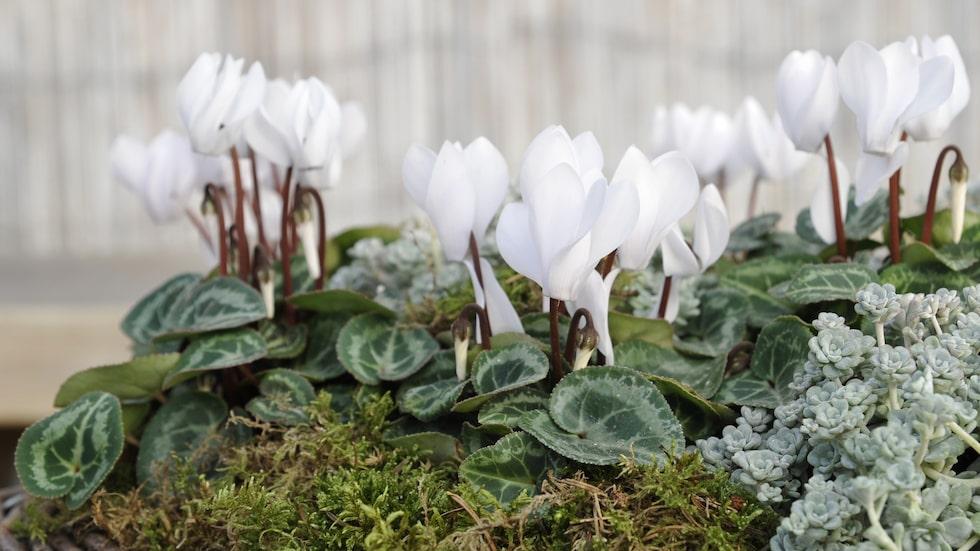 Här nedan får du reda på de bästa tipsen på hur du tar hand om den vackra blomman som är en utmaning enligt många.