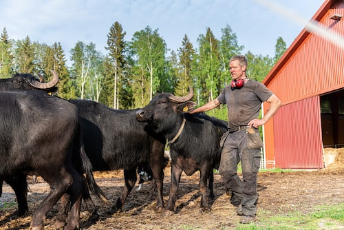 Ängsholmens Gårdsmejeri i Harbo utanför Uppsala där man tillverkar buffelmozzarella.