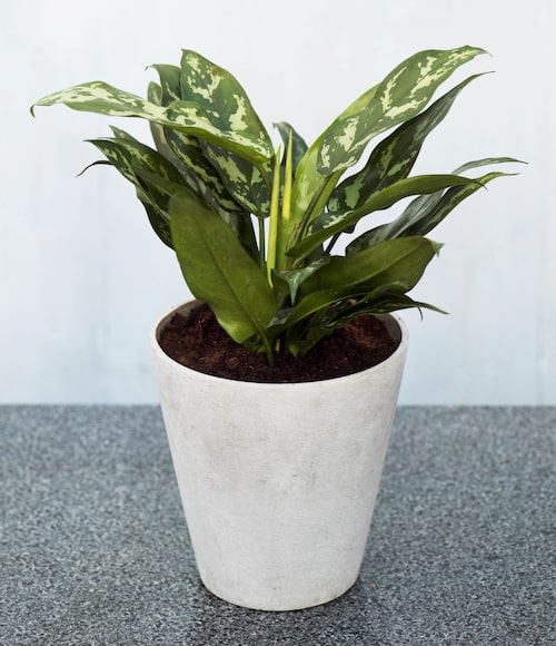 Silverkallan är en av våra mest hållbara krukväxter och fungerar perfekt för nybörjare.