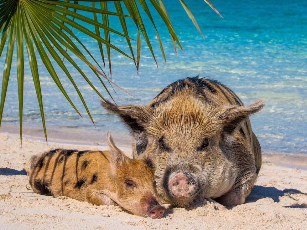 Big Major Cay Island, här är grisarna en stor turistattraktion.