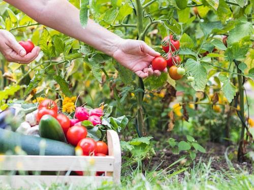 Ta hand om dina tomatplantor och du kommer så småningom belönas med underbara tomater!