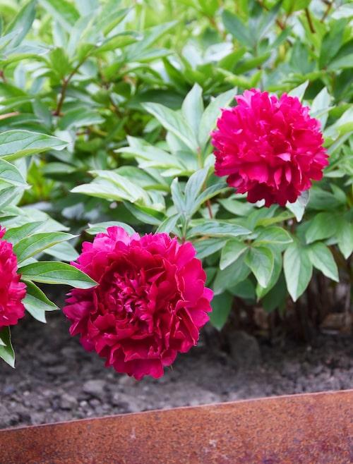'Philippe Rivoire' är en luktpion med vacker mörkröd blomma.