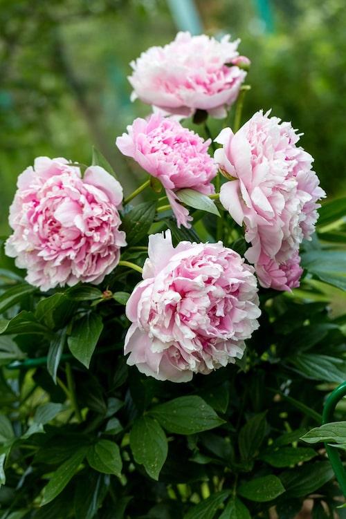 'Sarah Bernhardt' är en luktpion med ljuvlig doft.