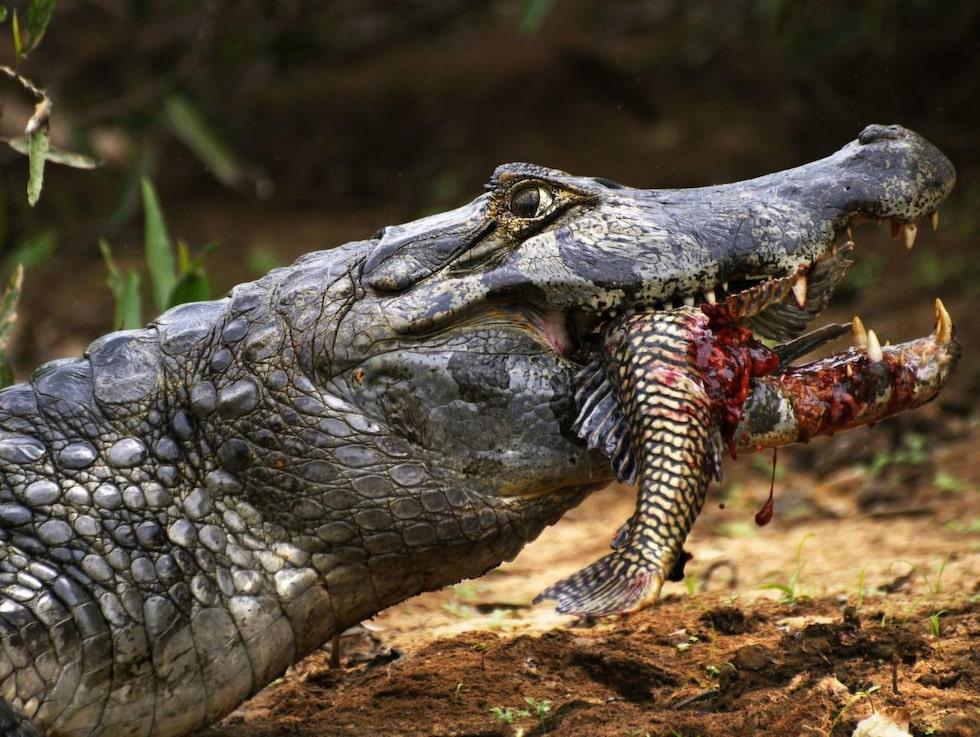 En kajman i Pantanal.