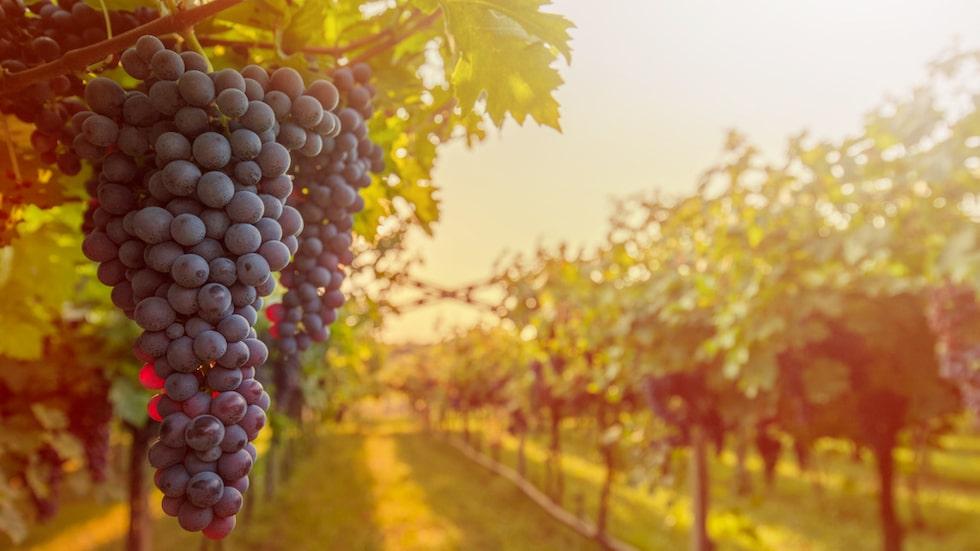 Många konsumenter vill veta om vinet kommer från en liten vingård...