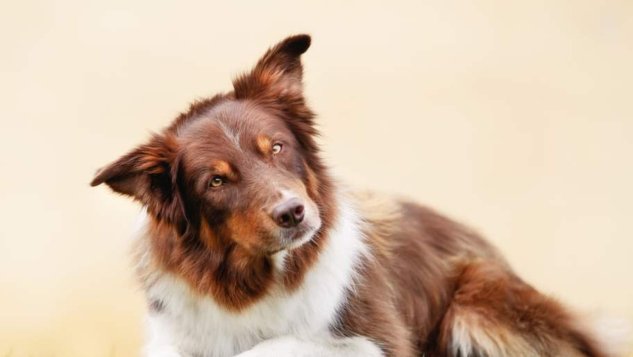 <strong>3. Är inte långsinta</strong><p>En hund kommer inte att vara arg på dig  för att de inte fick en godisbit dagen innan, som hunden brukar få. De  tynger inte sitt sinne med att gå och vara långsinta.</p>