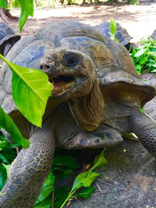Jättesköldpaddan Toby är bara 116 år. Han lär leva minst 50 år till.