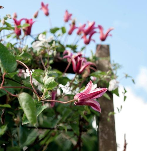 Princess Diana är en av många olika sorters klematis som trivs i Ulrikas trädgård.
