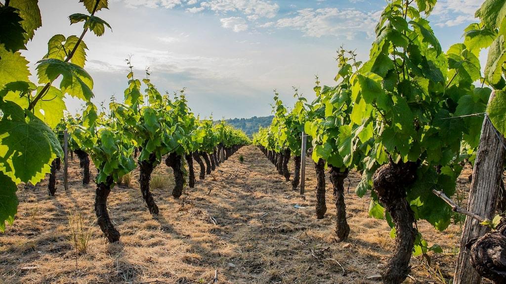 Gamaydruvan odlas främst i distriktet Beaujolais där den odlats ända sedan 1300-talet.