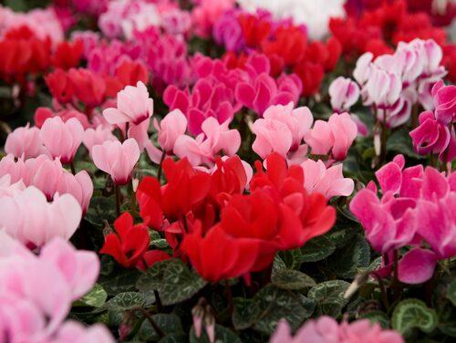 Med dess vackra blommor och dekorativa blad är cyklamen en populär krukväxt ända sedan 60- och 70-talet. En självklar höst- och vinterblomma för väldigt många.