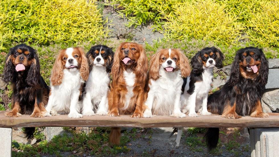 """Cavalier king charles spaniel hör också till de små hundraserna och beskrivs ofta som en """"stor hund i litet format"""". Till karaktären är den orädd, glad och utan antydan till nervositet eller aggressivitet."""