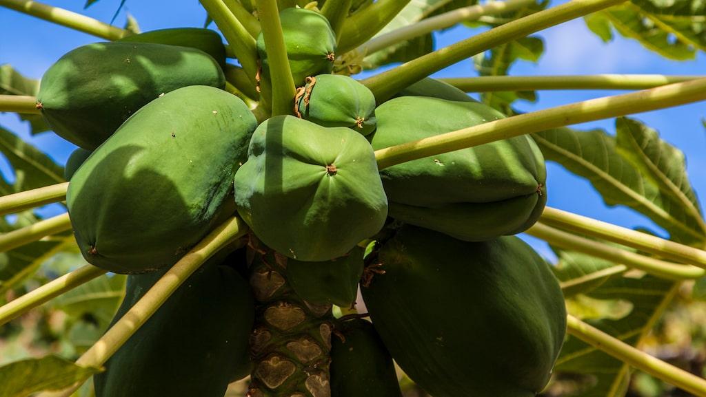 Papaya och annan tropisk frukt är lättodlat i Agaetedalen.