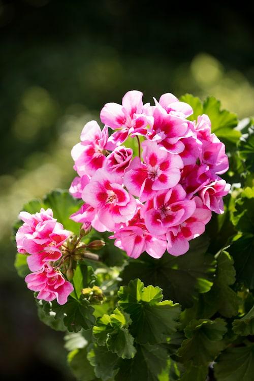 Pelargoner älskar ljus och värme och trivs utmärkt i varma och soliga lägen.