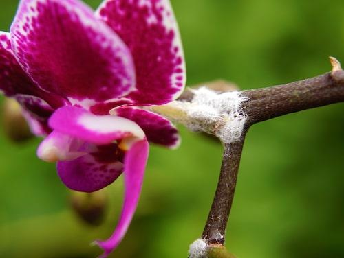 Ullusen omger sig med en vaxlösning som bildar ett vitt ludd på krukväxten.