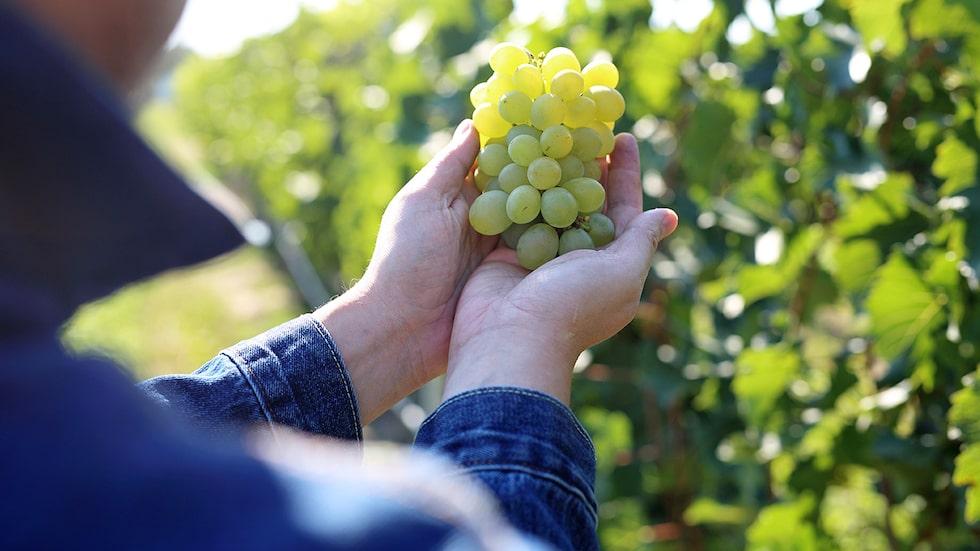 Hur påverkas världens druvor av ökade medeltemperaturer? Allt om Vin har synat hur klimatförändringarna kan påverka vinproduktionen.