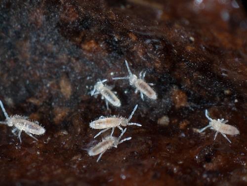 Hoppstjärtar tycker om när jorden är fuktig och lever framför allt av förmultnade delar, svampmycel och pollen.