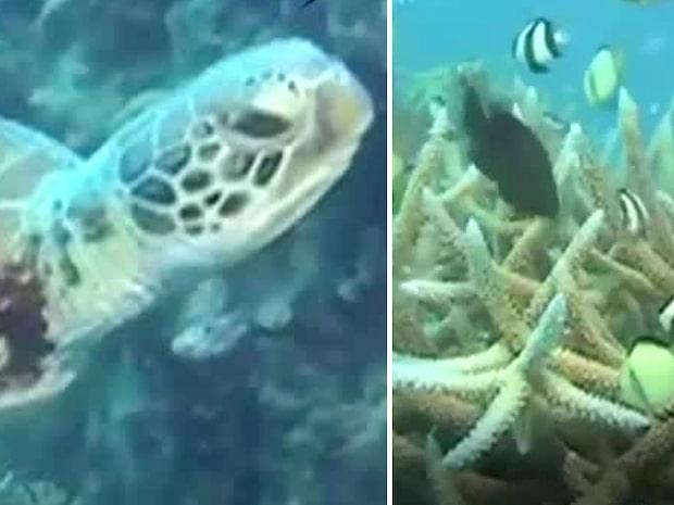 Hälften av korallerna döda i Stora barriärrevet