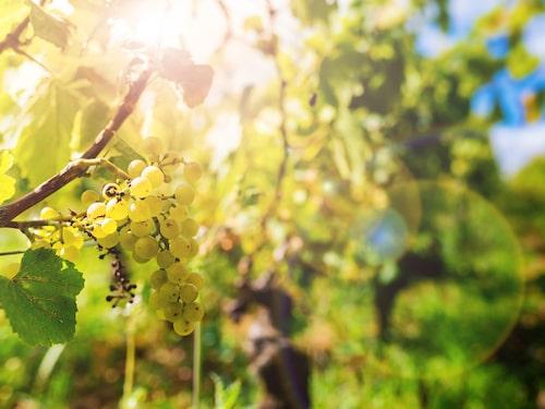Chardonnay är en av flera druvor som uttrycker doft och smak bättre än andra vid låga alkoholhalter.