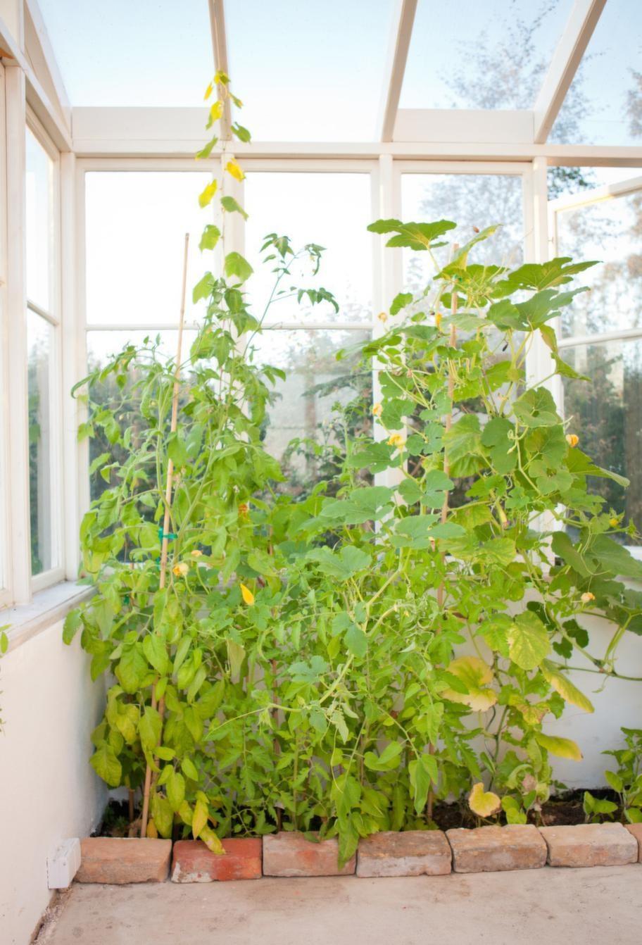Växtbädd. Ena långsidan har växtbäddar som går hela vägen ner till marken. De är kantade med gammalt tegel. Vinranka som planerades för någon månad sedan frodas tillsammans med tomatplantor.