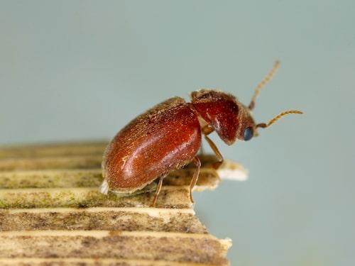 En fullvuxen tobaksbagge är runt 2-4 millimeter lång, rödaktig till färgen och har tandade antenner.